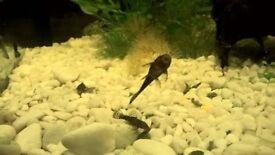 pleco catfish small asortet