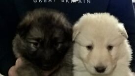 German Shepherd kc reg puppies