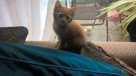 gorgeous ginger female kitten