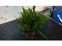 Aquarium plant (large Java Fern)