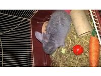 Rabbit hutch / run with 2 rabbits grey rabbit gizmo and blackone blackjack about 6 months old