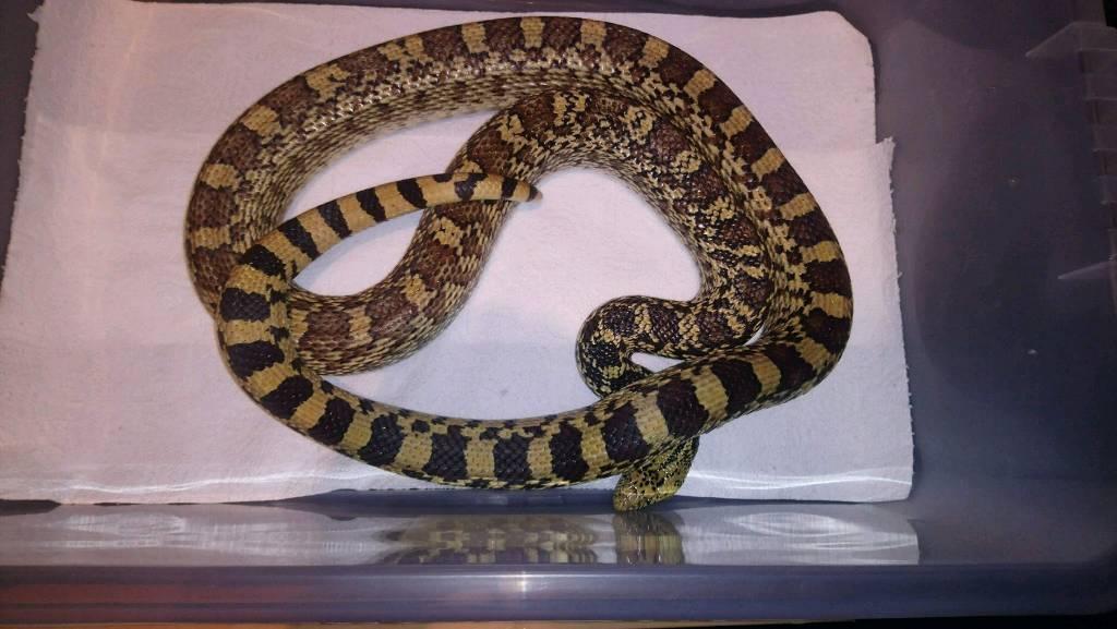 Snake for sale