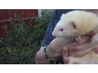1 ferret kit for sale ready now last one! (with 2 days change over food)