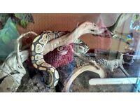 Ghost python and vivarium