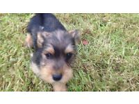 Miniature schnauzer cross Jack Russell puppies