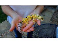 Various leopard geckos