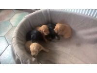 Cocker Spaniel purebred pedigree puppies