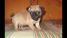 7/8 fawn pug puppy fawn dog