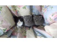 British Blue /Ragdoll Kittens
