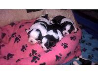 Pedigree Shih Tzu Puppies - Last 2 Boys available :)