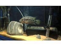 Freddy cichlid American cichlid large