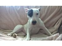 Lovely English Bull Terrier/Staff