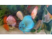tropical frish - DISCUS FOR SALE