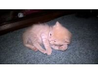 gray and light ginger kittens for sale