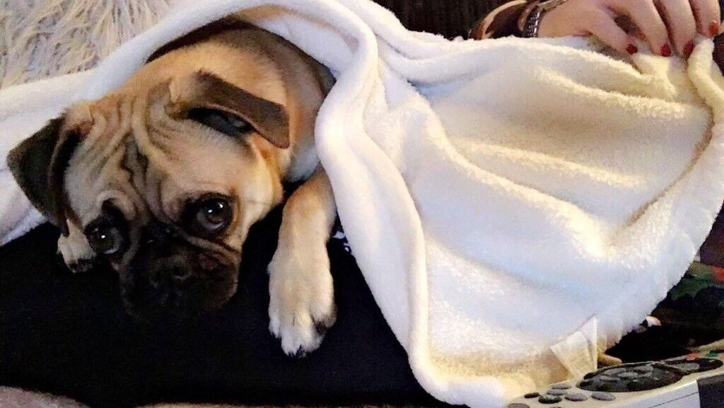Pug Puppy Needs Rehoming In Hertford Hertfordshire Gumtree