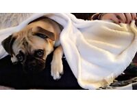 Pug puppy needs rehoming