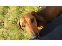 Miniature dachshund for adoption