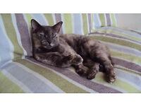 STILL MISSING CAT - £100 Reward