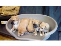 For sale jack russel cross pug