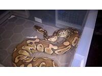 Female Lesser Ball Python CB15