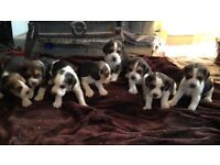 Gorgeous healthy beagle puppies