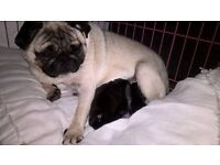 PUG PUPPIES ***ONLY ONE LEFT***