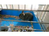 Rabbit male for sale with cage water bottle