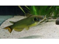 "Big 4-5"" Golden Spot Catfish for sale tropical fish"