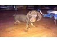 minitaure dachshund puppy for sale