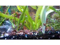 ramshorn snails for sale