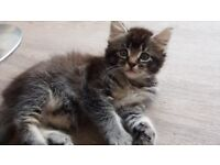 Cute Fluffy Kittens 4 Tabby 1 Ginger Boys & Girls.