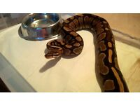 Female Yellowbelly 100% het Albino Ball Python CB13