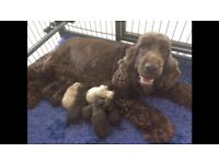 Chocolate and apricot cockapoo puppies