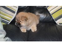chow chow pup male full kc reg