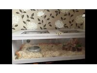 Corn snake with set up
