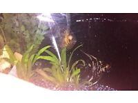 tropical fish discus, pleco, angelfish