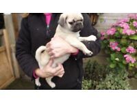 Pug, wicked and cheeky pure pug puppies, ready now**FULLY VACCINATED**