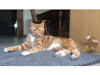 MISSING MALE NEUTURED GINGER CAT (LAST SEEN 12.9.16)