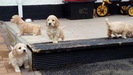 Fluffy Cockapoo Pups