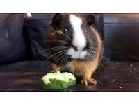 Young male guinea pig for sale