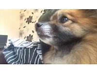 3yr old Pomeranian