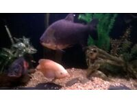 huge pacu large tropical fish