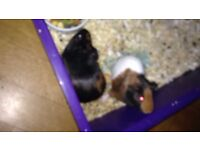 Two female guinea pigs (with cage)