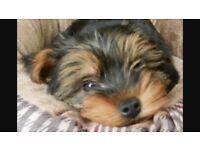Yorkshire terrier female puppy