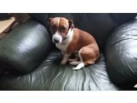 1 year old male Jack Russel for sale.