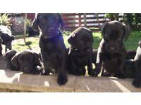 Pedigree Black Labrador Puppies