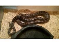 Male Anerythristic Corn snake CB11