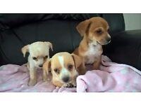 3 x jackawawa puppies for sale