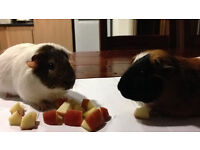 2 Male Guinea Pigs and Large Cage