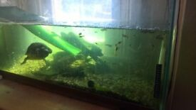 over 80 Male and female Guppy's + fish tank + Accessories NEED GONE ASAP